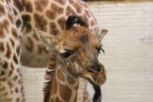 girafje-dierenpark-emmen